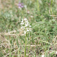 Anacamptis morio subsp. сaucasica var.alba