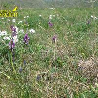 Anacamptis morio subsp. caucasica цветет на лугу