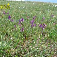 Anacamptis morio subsp. caucasica на полянке в горах