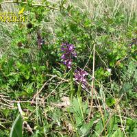 Anacamptis morio subsp. caucasica в колючем кустарнике