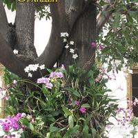 Дендробиумы - типичное украшение