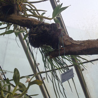 Pyrosia longifolia