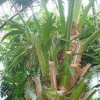 Oncidium bauerii