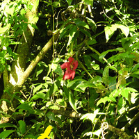 Неизвестный Аленький цветочек