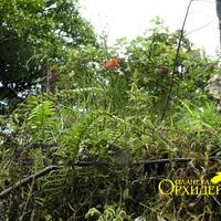 Цветет Epidendrum radicans среди природорожных зарослей