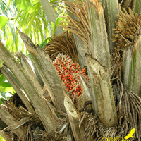 Пальма и плоды