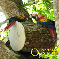 Вольно живущие попугаи