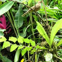 Stanghopea sp. и птица символ Коста-Рики