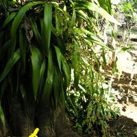 Онцидиум в придорожном садике