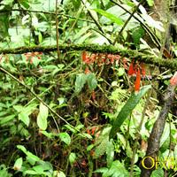 Thibaudia costaricensis Растение сельвы