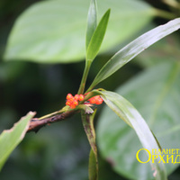 Maxillaria fulgens