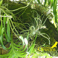 Тилландсии и орхидеи