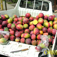 Продается манго