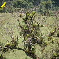 Цветущее дерево с эпифитами