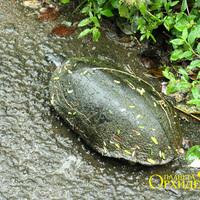 Путешествующая черепаха