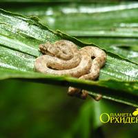 Реснитчатая змея