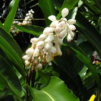 Цветет Ycca gloriosa