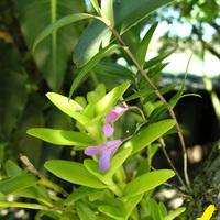 Орхидеи sp.