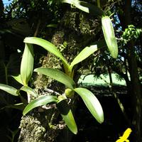 Так растут орхидеи
