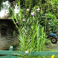 Arundina graminifolia распространенное деревенское растение