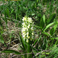 Dactylorhiza romana var. alba