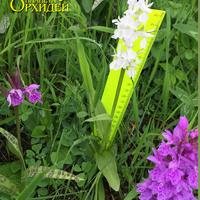 Измерение соцветия Пальчатокоренника Дюрвилля разновидность белая