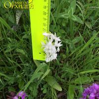 Dactylorhiza urvilleana var.alba – орхидея Адыгеи