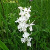 Dactylorhiza urvilleana var. alba – «Белый ангел» орхидея России