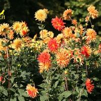 Разноцветье георгинов
