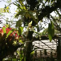 Цветущая Coelogyne lawrenceana вместе с Эхмеей и Tillandsia stricta