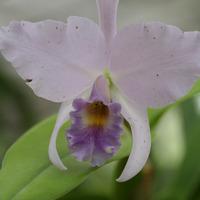 Каттлея однолистная крупноцветковая