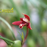 Maxillaria sp.
