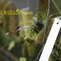 Lepanthes cascajalensis