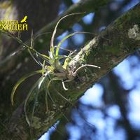 Зацветающая Тилландсия на городском дереве