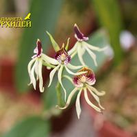 Anachelium cochleatum