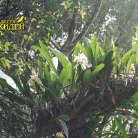 Заросли Целогины на дереве в Ботаническом саду