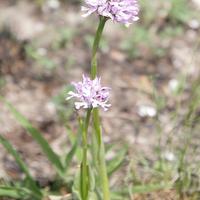 Neotinea tridentata