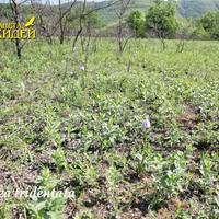 Neotinea tridentata - места произрастания