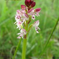 Орхидеи Краснодарского края