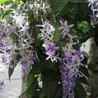 Цветет прекрасная лиана с голубыми цветами
