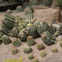 Композиция из цветущих кактусов