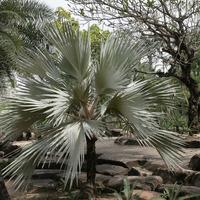Красавица пальма