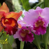 Каттлеи гибридная крупноцветковая