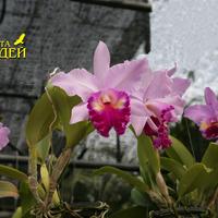 Каттлея гибридная крупноцветковая