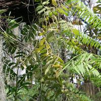 Нецветущие орхидеи