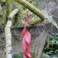Цветение бромелии среди орхидей