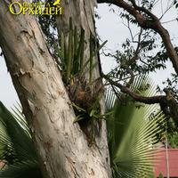 Вдоль дороги деревья, на которых растут различные Цимбидиумы