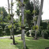 Цимбидиумы на деревьях