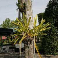 У Цимбидиума, растущего на дереве, корни свисают вниз