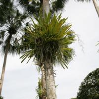Цимбидиум на гладком стволе пальмы